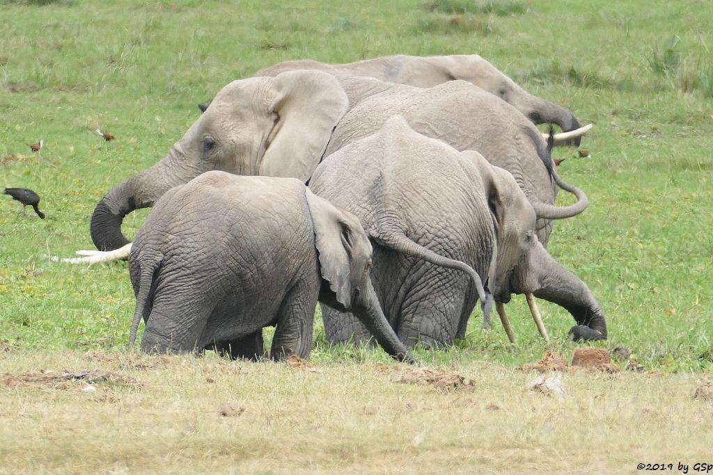 Brauner Sichler, Blaustirn-Blatthühnchen, Elefant