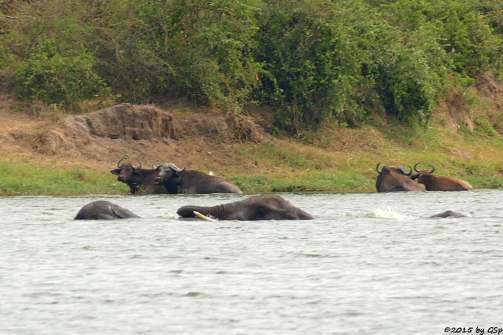 Afrikanischer Elefant, Kaffernbüffel (African Elephant, Buffalo)