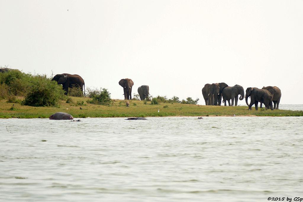 Flusspferd, Warzenschwein, Afrikanischer Elefant (Hippopotamus/Hippo, Warthog, African Elephant)