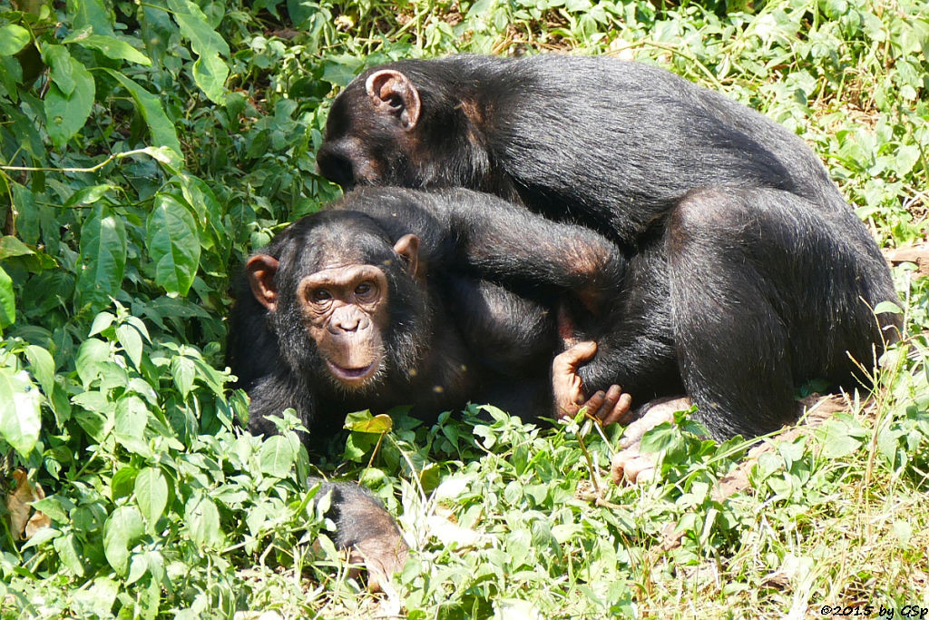 Schimpansen auf Ngamba Island - 66 Fotos