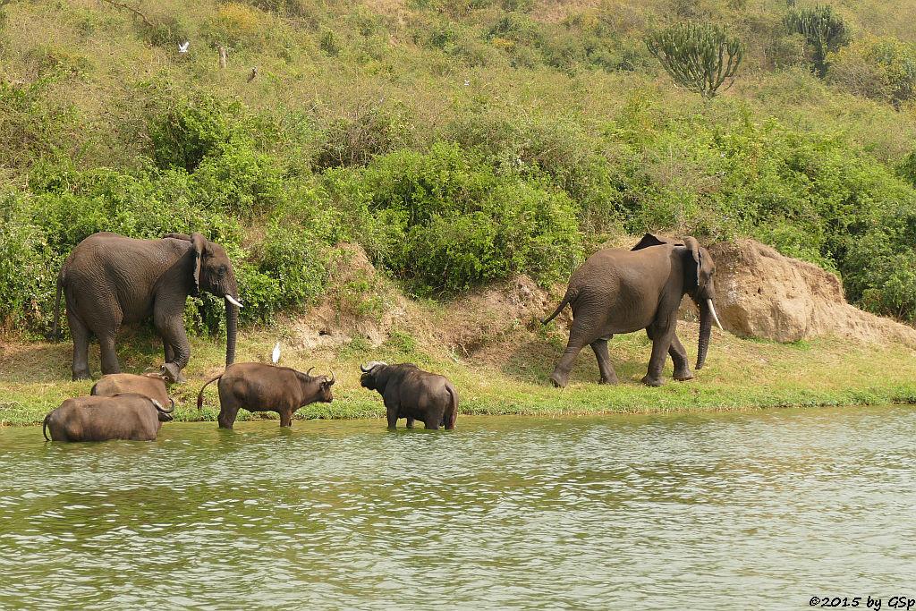 Kaffernbüffel, Afrikanischer Elefant (Buffalo, African Elephant)
