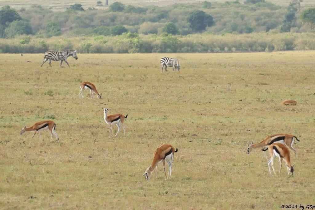 Gewöhnliche Impala (Schwarzfersenantilope), Böhm-Steppenzebra (Grant-Zebra)