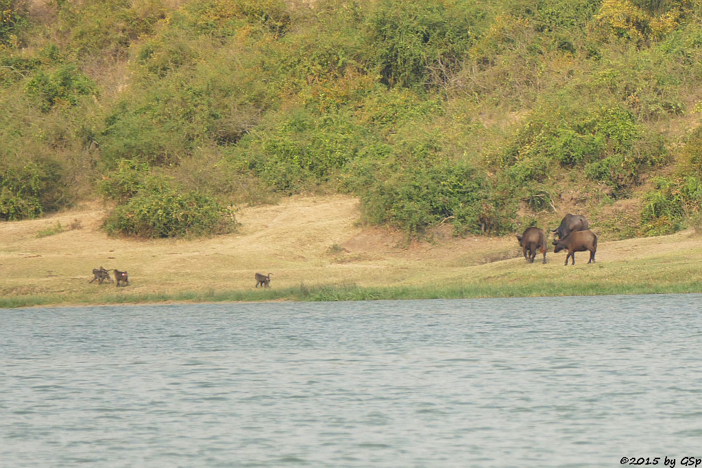 Anubis- (Grüner) Pavian, Kaffernbüffel (Anubis Baboon/Olive Baboon, Buffalo)