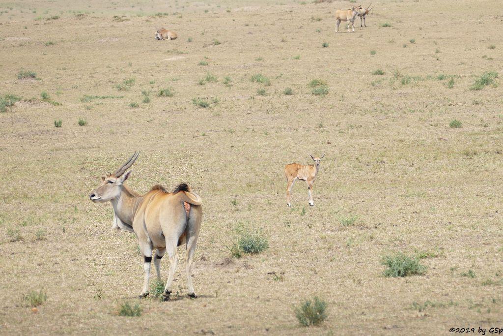 Ostafrikanische Elenantilope