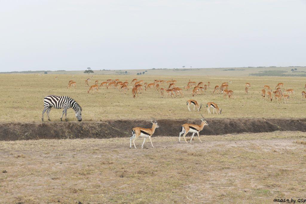 Böhm-Steppenzebra (Grant-Zebra), Thomsongazelle, Impala
