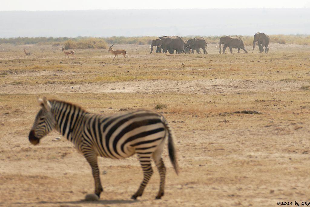 Böhm-Steppenzebra (Grant-Zebra), Grant-Gazelle, Elefant