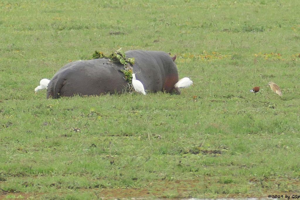 Flusspsferd (Nilpferd), Kuhreiher, Blaustirn-Blatthühnchen, Madagaskar Rallenreiher