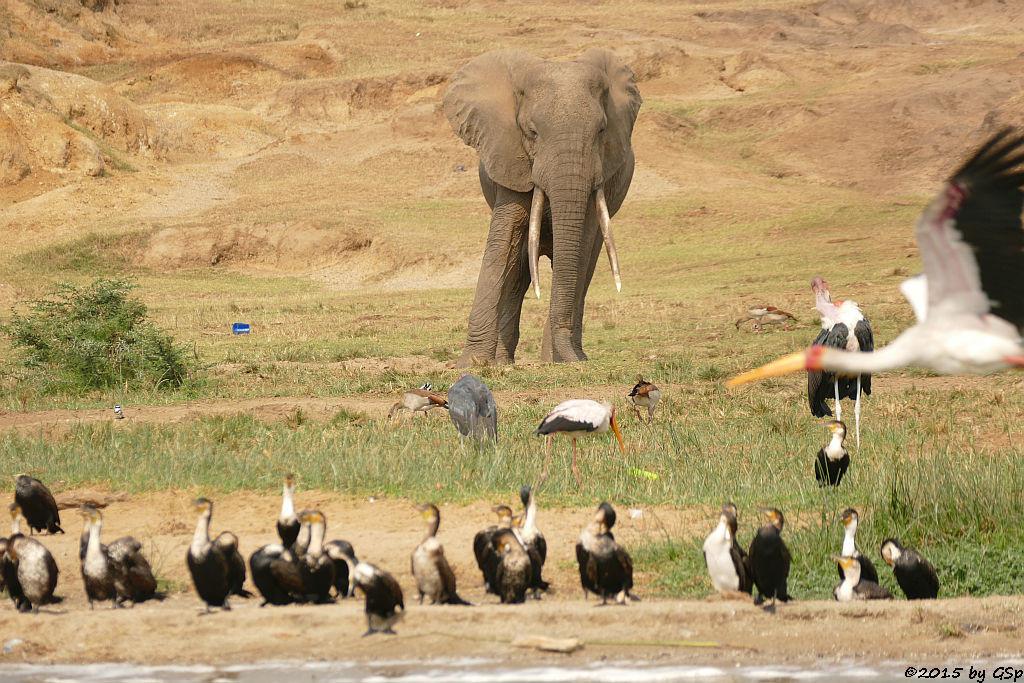Weißbauchkormoran, Afrikanischer Elefant, Nimmersatt, Nilgans, Marabu (Greater (white-breasted) Cormorant, African Elephant, Yellow-billed Stork, Egyptian Goose, Marabou Stork)