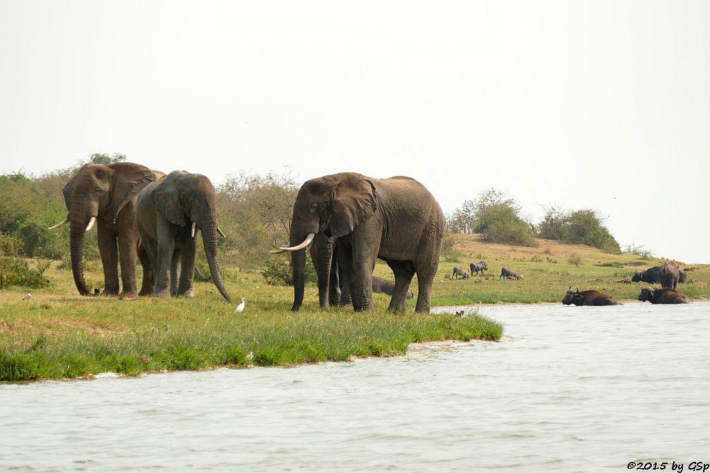 Afrikanischer Elefant, Warzenschwein, Kaffernbüffel (African Elephant, Warthog, Buffalo)