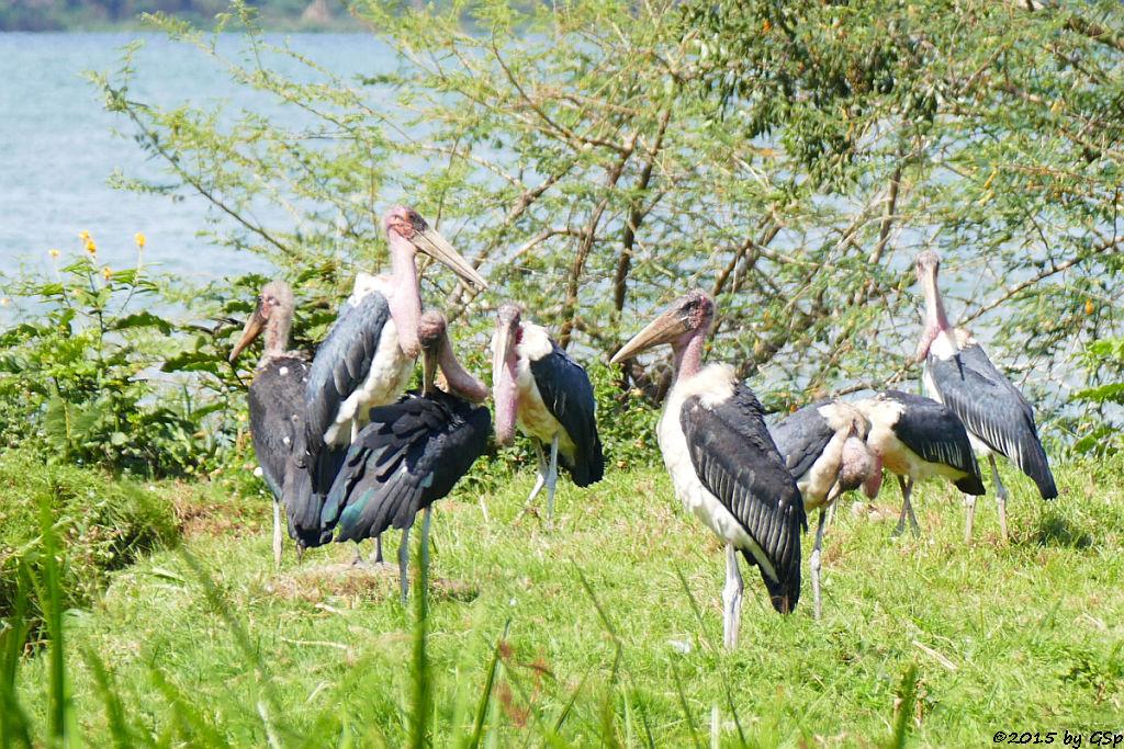 Marabu (Marabou Stork)