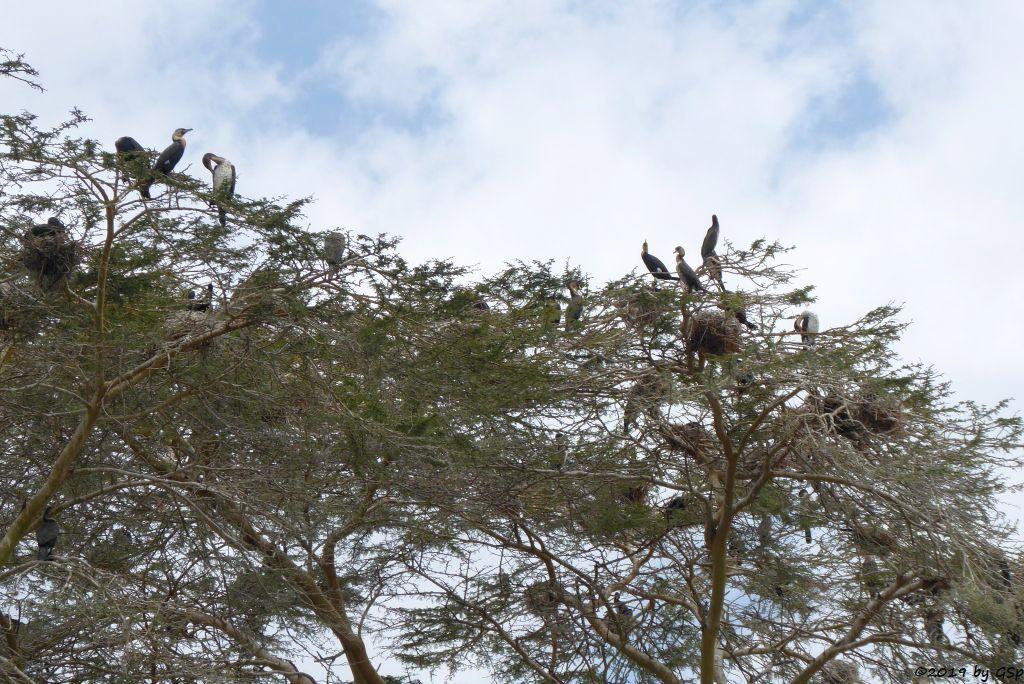 Weißbrustkormoran (Weißbauchkormoran)