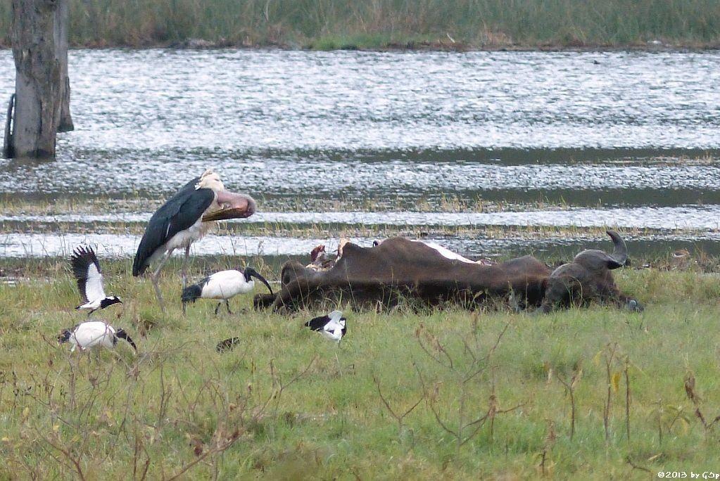 Heiliger Ibis, Marabu, Waffenkiebitz, Kaffernbüffel