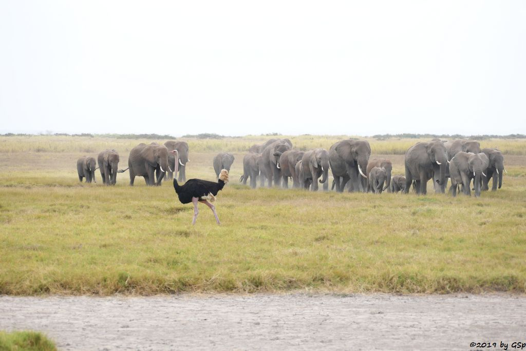 Massaistrauß (Rothalsstrauß), Elefant