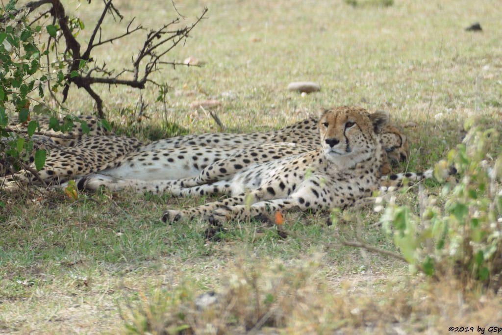 Die fünf Geparden-Brüder
