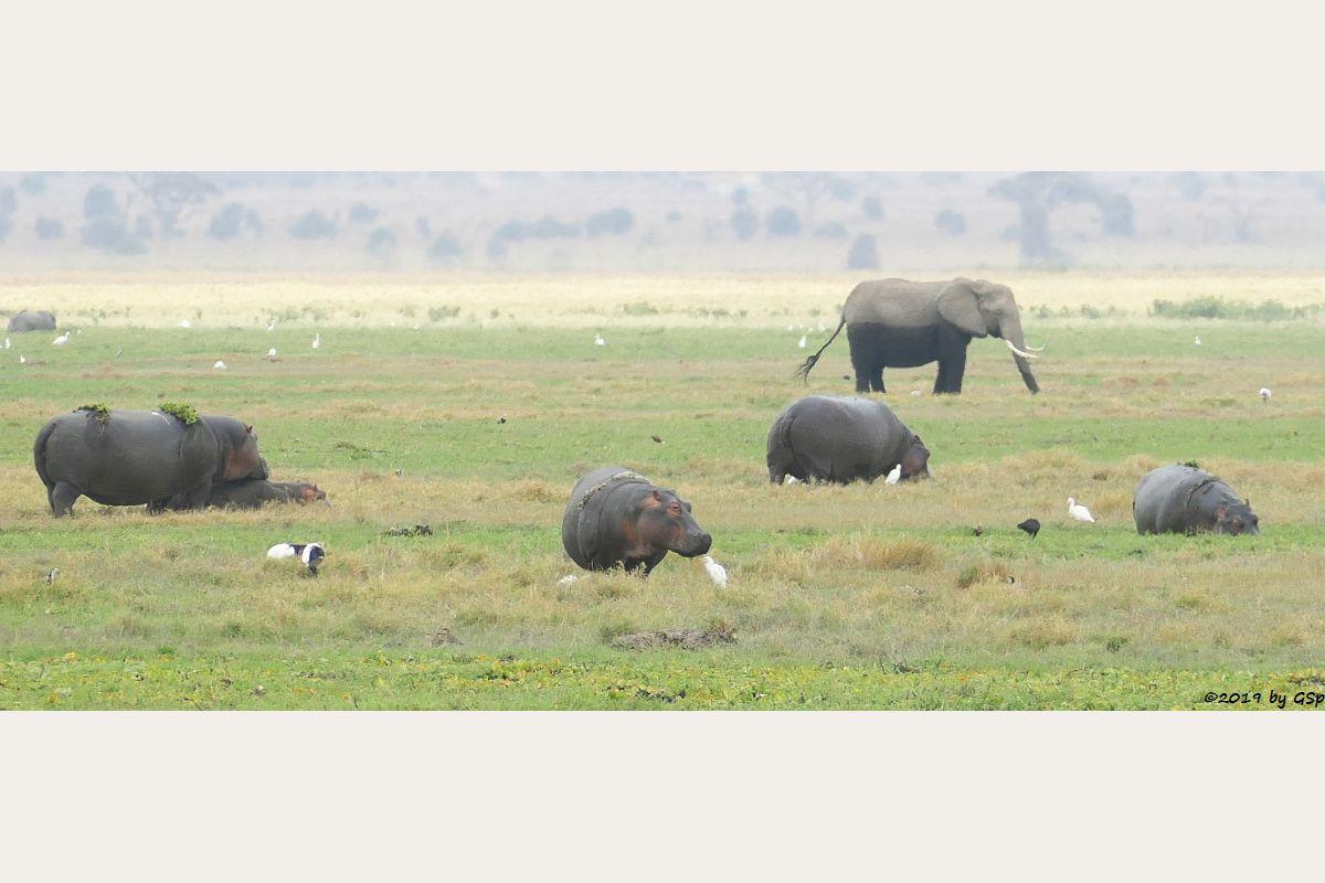 Heiliger Ibis, Flusspferd, Kuhreiher, Brauner Sichler, Elefant