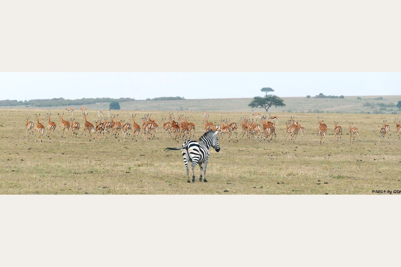 Böhm-Steppenzebra (Grant-Zebra), Impala, Thomsongazelle
