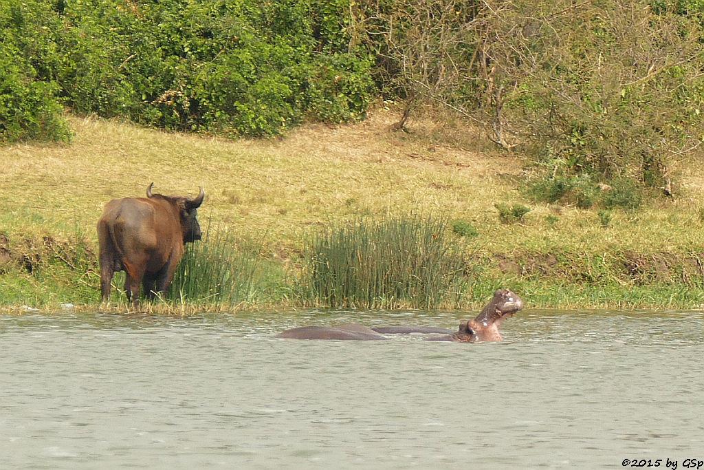 Kaffernbüffel, Flusspferd (Buffalo, Hippopotamus/Hippo)