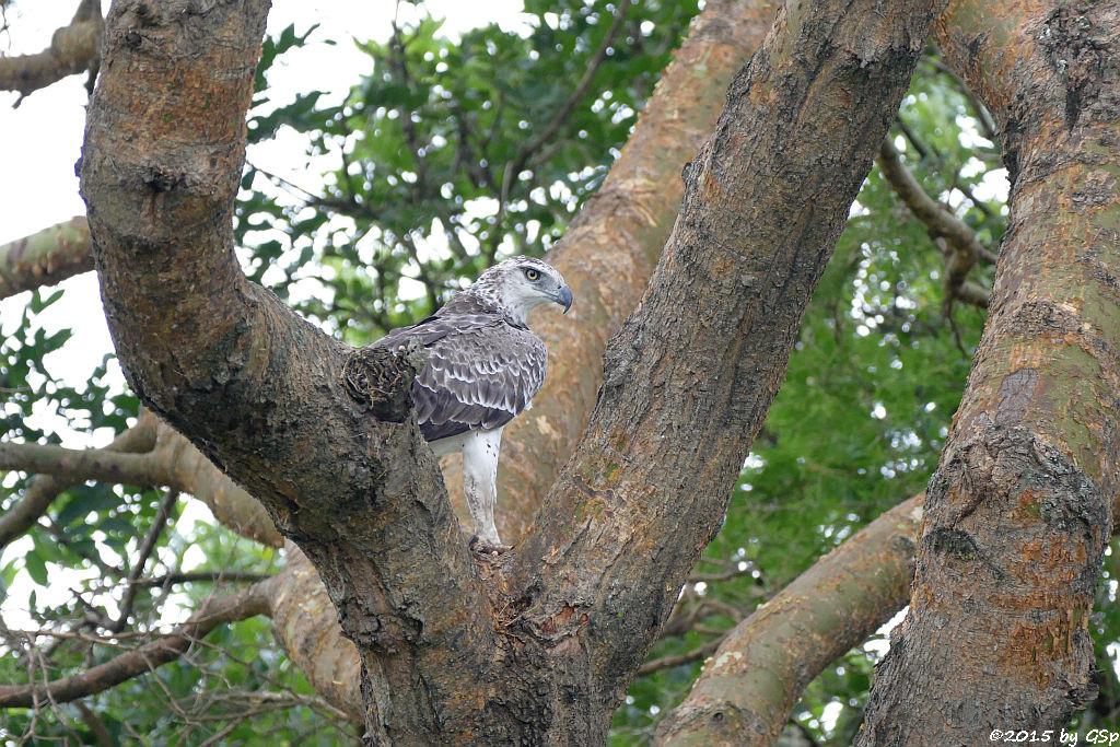 Kampfadler (Martial Eagle)
