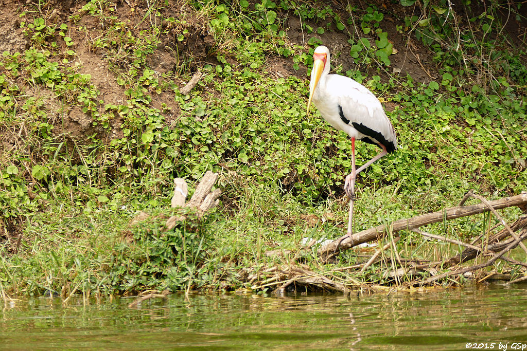 Afrikanischer Nimmersatt (Yellow-billed Stork)