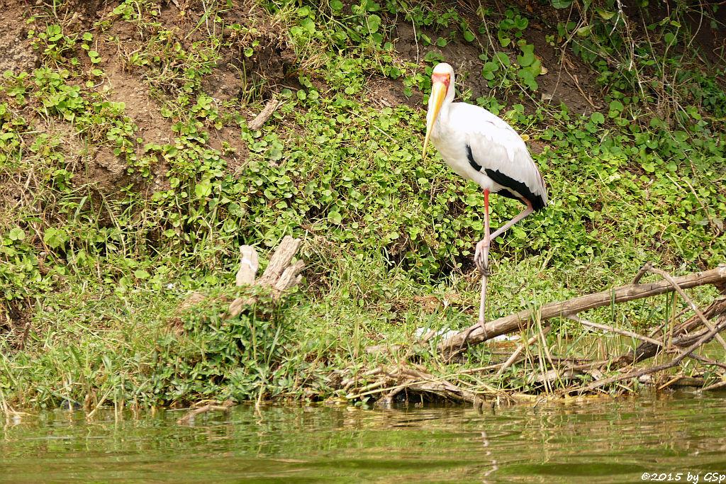 Afrikanischer Nimmersatt (Yellow-billed Stork)