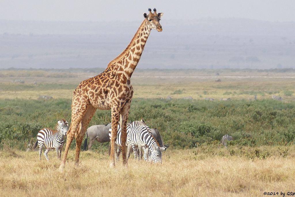 Böhm-Steppenzebra, Massai-Giraffe, Östliches Weißbartgnu, Elefant