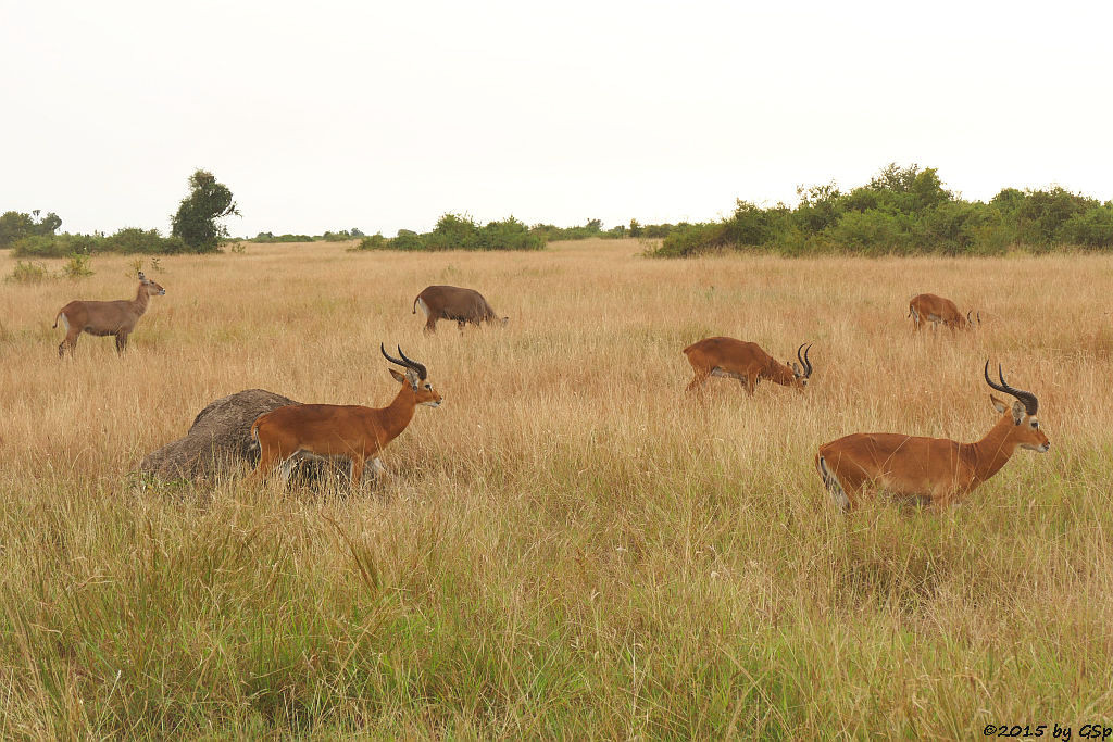Defassa-Wasserbock, Uganda-Grasantilope/Thomas Wasserbock (Waterbuck, Ugandan Kob)