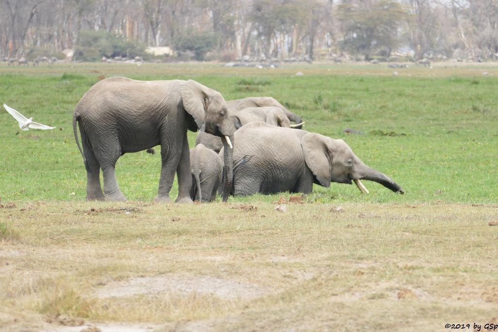 Östlicher Silberreiher, Elefant, Weißbartgnu