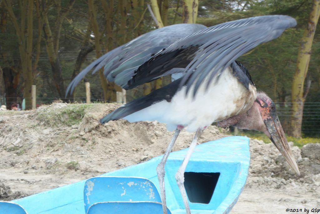 Marabu (Afrikanischer Marabu)