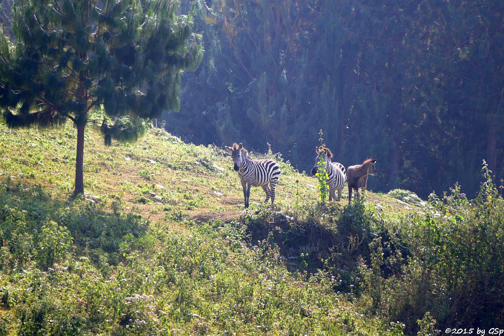 Steppenzebra, Defassa-Wasserbock (Burchell's Zebra, Waterbuck)