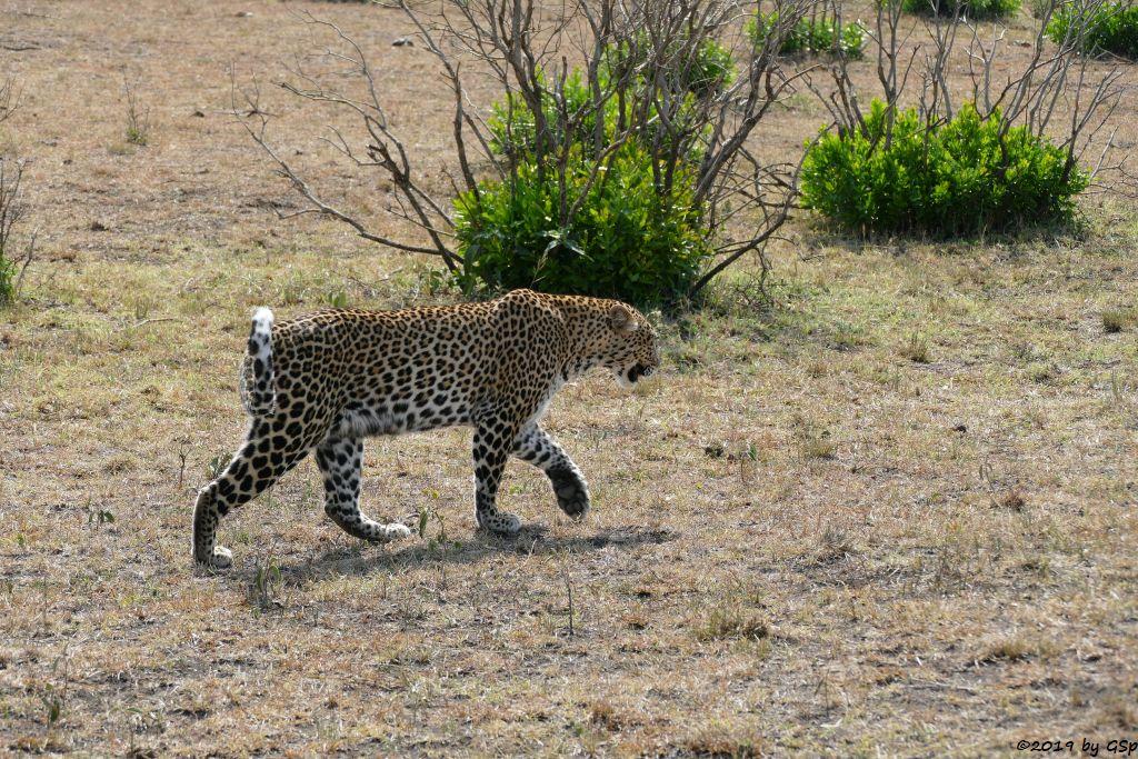Ostafrikanischer Leopard