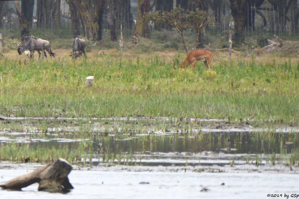 Weißbartgnu, Gewöhnliche Impala (Schwarzfersenantilope)