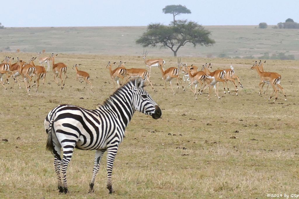 Böhm-Steppenzebra (Grant-Zebra), Impala, Grant-Gazelle