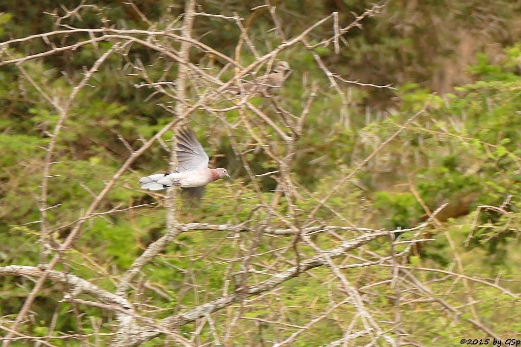 Palmtaube (Laughing  Dove)