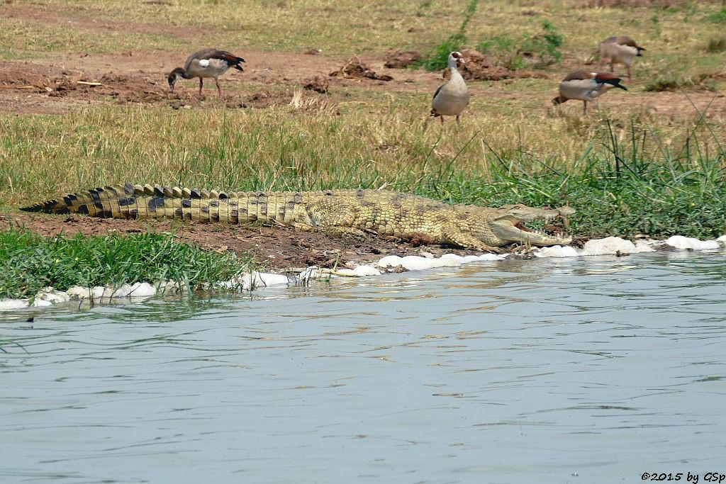 Nilkrokodil, Nilgans (Nile Crocodile, Egyptian Goose)