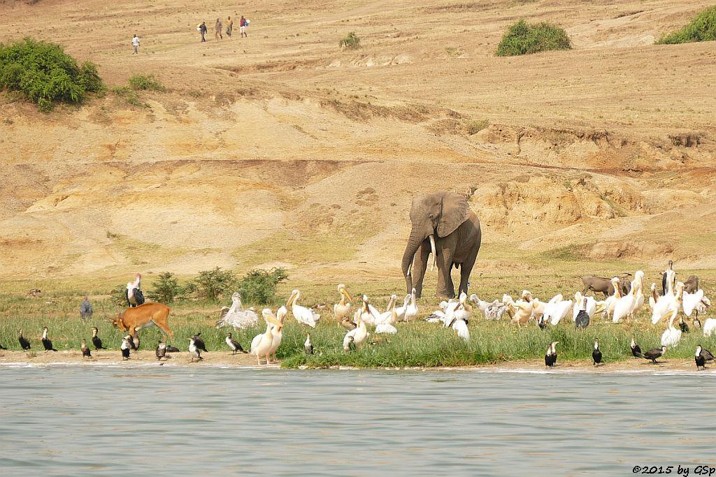 Weißbauchkormoran, Uganda-Grasantilope/Thomas-Wasserbock, Rosapelikan, Afr. Elefant, Warzenschwein, Marabu (Greater (white-breasted) Cormorant, Ugandan Kob, Great white Pelican, African Elephant, Warthog, Marabou Stork)