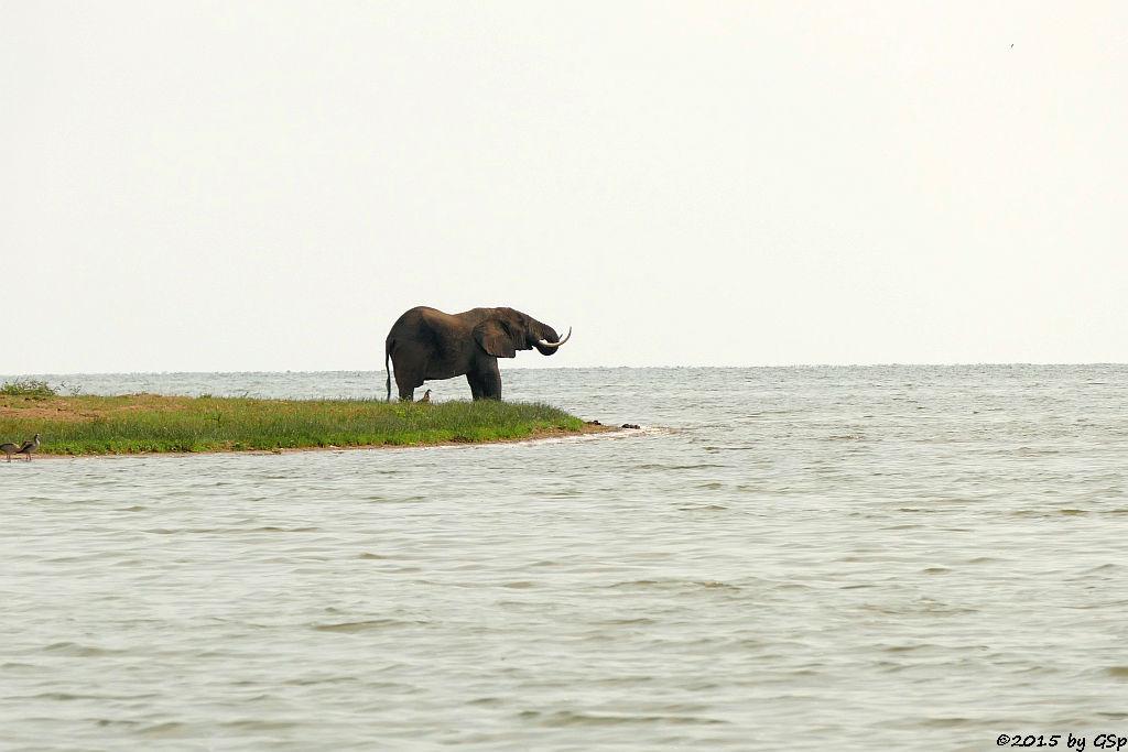 Afrikanischer Elefant - Lake George (African Elephant)