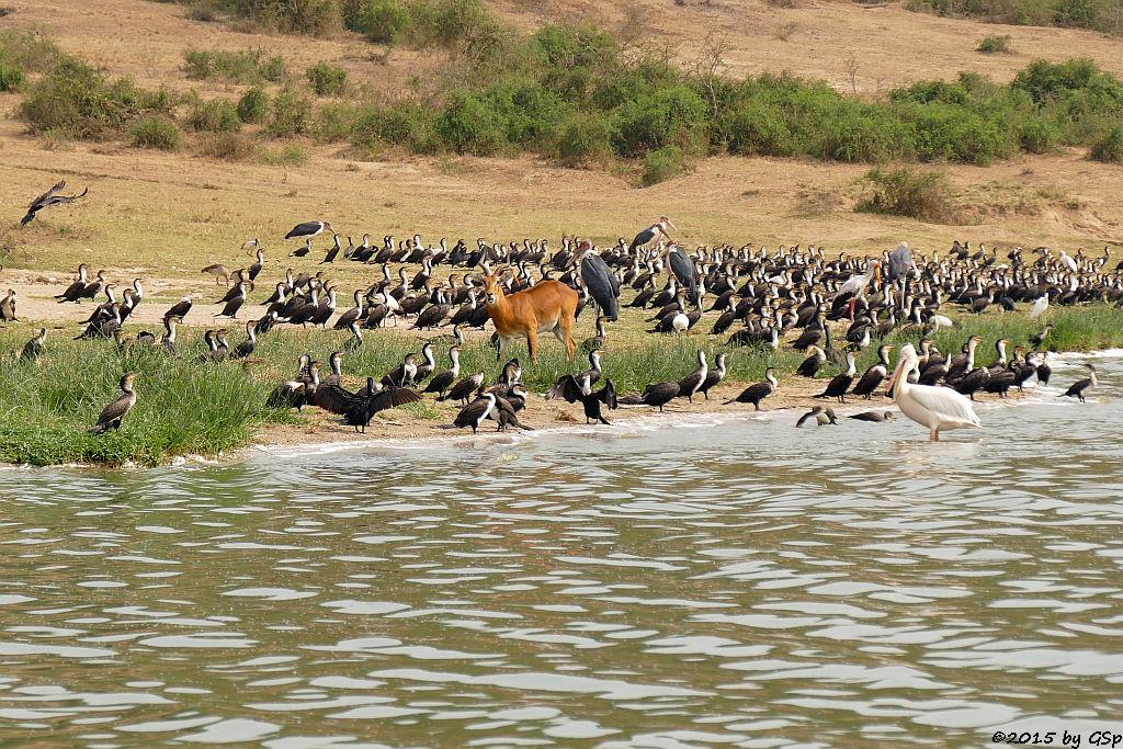 Weißbauchkormoran, Uganda-Grasantilope/Thomas-Wasserbock, Marabu, Nimmersatt, (Greater (white-breasted) Cormorant, Ugandan Kob, Marabou Stork, Yellow-billed Stork)