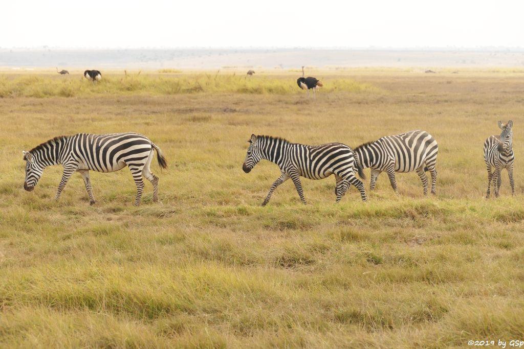 Böhm-Steppenzebra (Grant-Zebra), Massaistrauß (Rothalsstrauß)