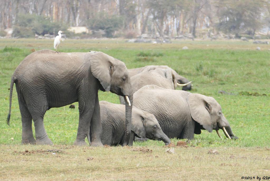 Elefant, Östlicher Silberreiher, Weißbartgnu