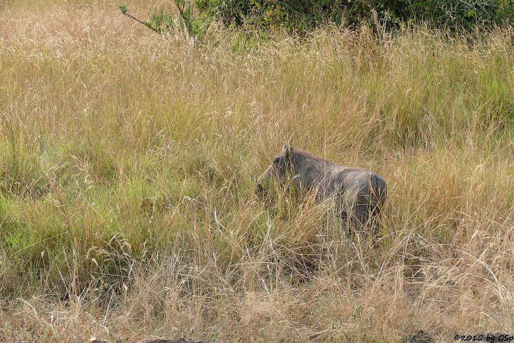 Warzenschwein (Warthog)