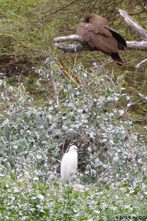 Seidenreiher, Hammerkopf (Schattenvogel)