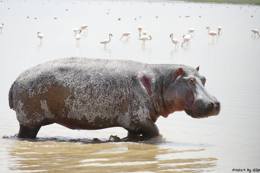 Flusspferd (Nilpferd), Zwergflamingo
