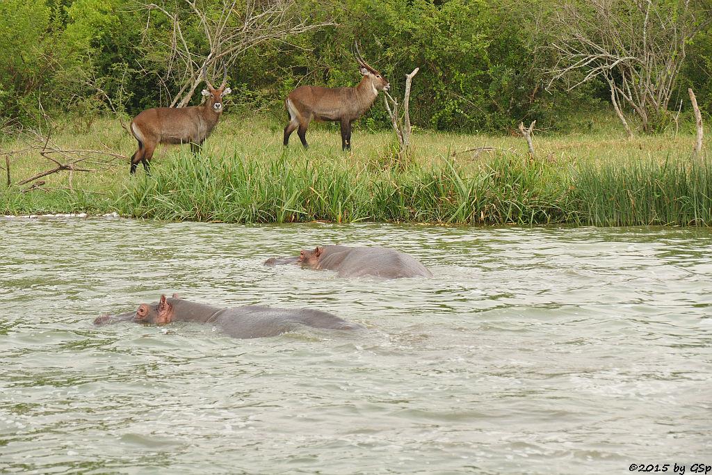 Flusspferd, Defassa-Wasserbock (Hippopotamus/Hippo, Waterbuck)