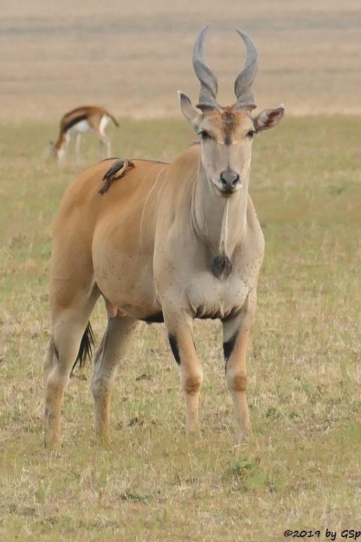 Elenantilope, Thomsongazelle