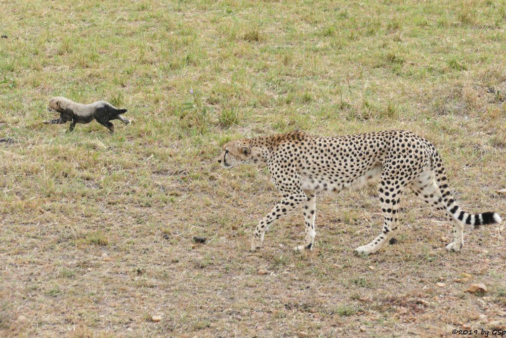 Ostafrikanischer Gepard
