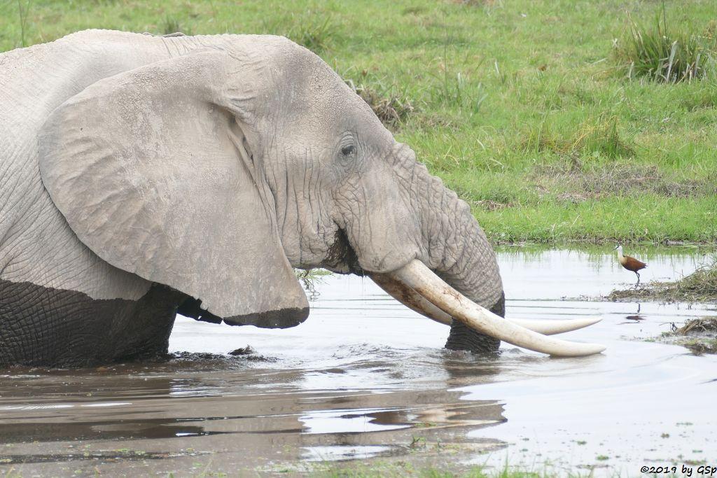 Elefant, Blaustirn-Blatthühnchen (Afrikanisches Blatthühnchen)