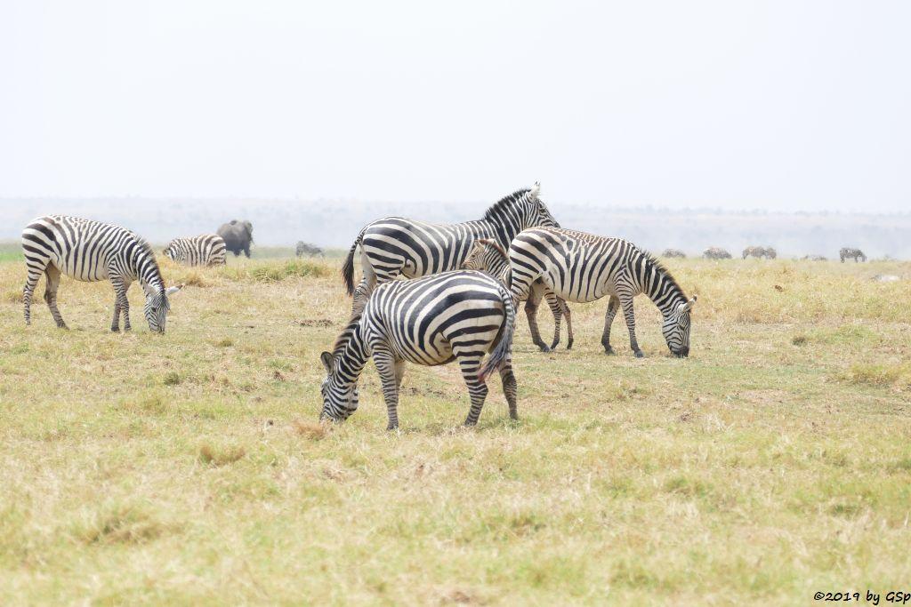 Böhm-Steppenzebra (Grant-Zebra), Elefant