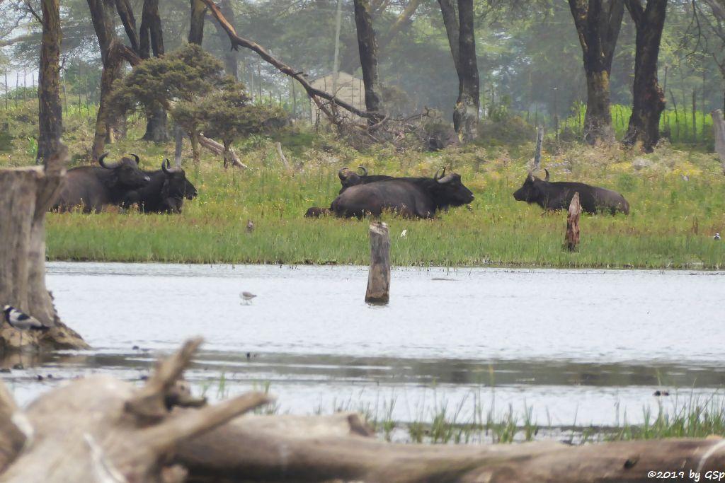 Kaffernbüffel (Schwarzbüffel