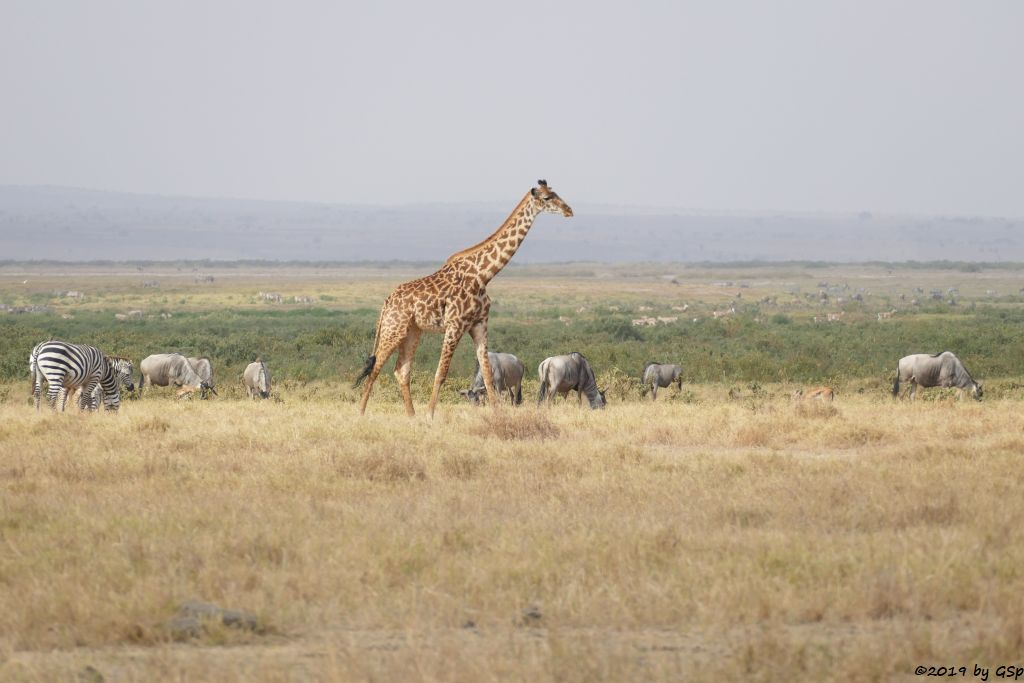 Böhm-Steppenzebra, Östliches Weißbartgnu, Massai-Giraffe, Thomsongazelle, Grant-Gazelle