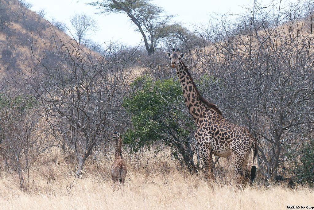 Massai-Giraffe m. Jungtier